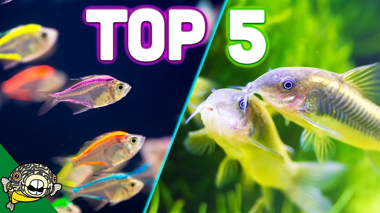 Top 5 Aquarium Schooling Fish Best Beginner Schooling Fish Youtube