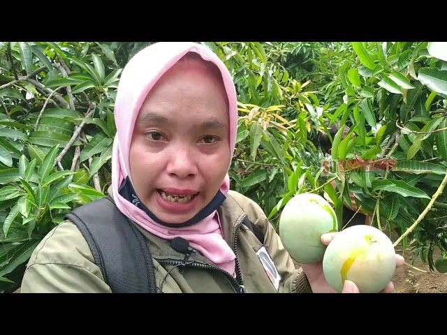 Sentra Mangga Gedong Gincu Kabupaten Sumedang