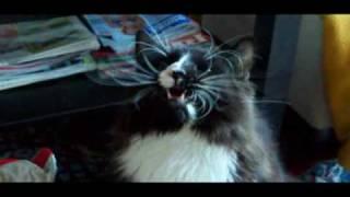 Singing cat - śpiewający kot