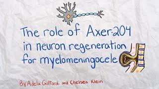 126_Role of Axer 204 in Neuron Regeneration for Myelomeningocele