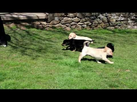 Labrador Mix Puppies For Sale