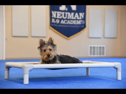 Wally (Australian Terrier) Puppy Camp Dog Training Video Demonstration
