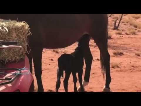 Horse Adopts and Nurses Orphaned Calf at Queensland Farm