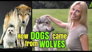 How DOGS came from WOLVES - Wolf Girl Anneka Explains thumbnail