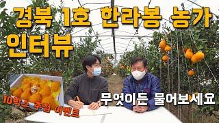 경북 1호 한라봉 농가 인터뷰. 무엇이든 물어보세요! …