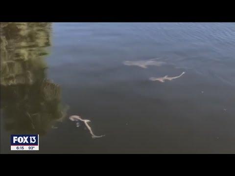剧毒赤潮来了!数百条鲨鱼蜂拥躲进佛州运河避难(图/视频)