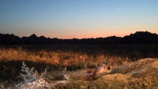 Moving Day - Black-footed ferret part 2