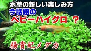 水草【ベビーハイグロ】買ってみた・・・【メダカ水槽#18】
