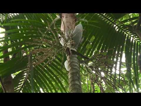 [NCTV] WEARI, Hienghène dans le secret des palmiers du Nord