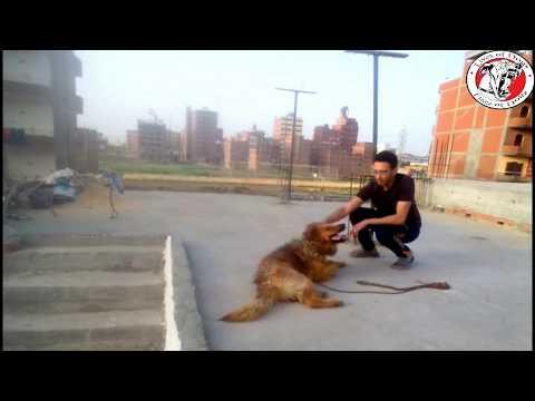 تدريب الكلب على التدحرج..Train your dog on rolling