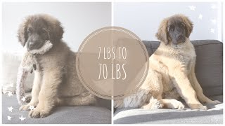 LARRY'S FIRST 6 MONTHS  LARRY THE LEONBERGER