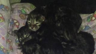 Котята породы Мейн-Кун. А у нас сегодня кошка родила вчера котят.