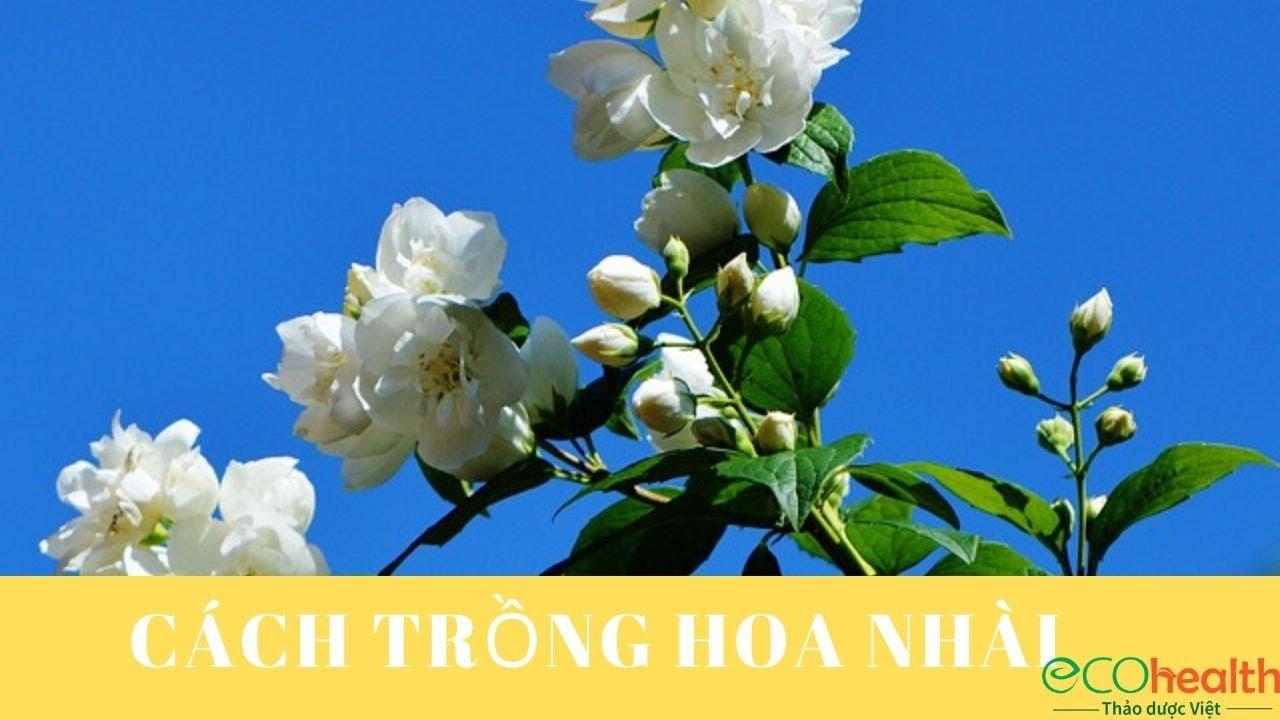 Cách Trồng Hoa Nhài để Cây Phát Triển Tốt, Nở Nhiều Hoa