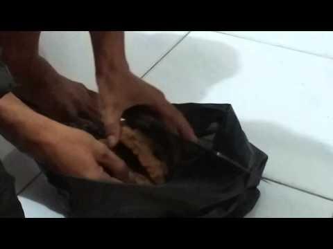 Ratu anai anai / Queen termite pt.2