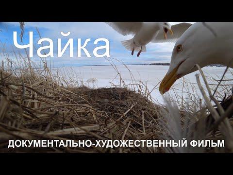 Добрая история о многолетней дружбе мамы и сына с чайкой. Анадырь Чукотка Арктика Дальний Восток