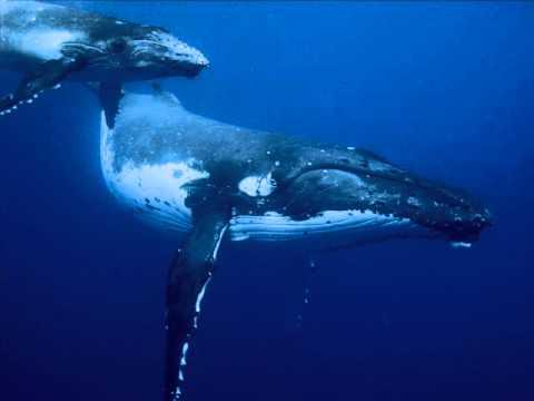Canto de ballena Jorobada
