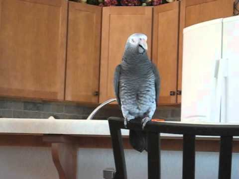 Timneh African Grey Song & Dance