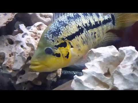 240 And 110 Gallon American Cichlids Tanks Update