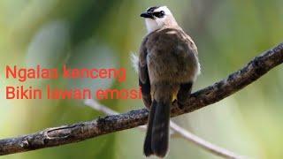 Pancingan burung trucukan suara jernih, ngebrem + ropelan panjang