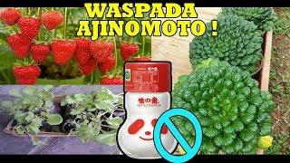 # TIS # WARNING !!! Bahaya Ajinomoto Untuk Tanaman !!!