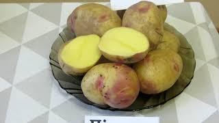 Сорта голландской семенной картошки от Компании Агрико. Обзор