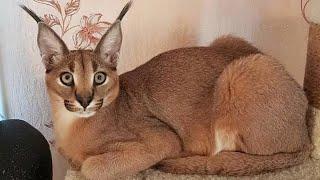 Удивительные КОШКИ-ГИБРИДЫ. Домашние кошки с дикими корнями
