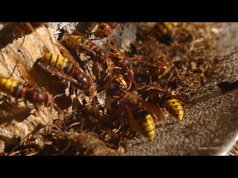 Hornissen Sex - Das Paarungsverhalten unserer Hornisse Vespa crabro
