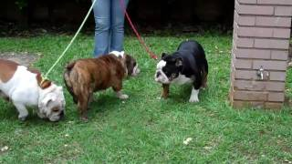 Mauiexpo Kennels English Bulldog Males