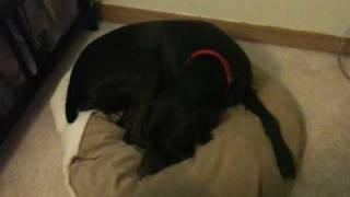 German Shorthaired Pointer Dog Nesting His Bed