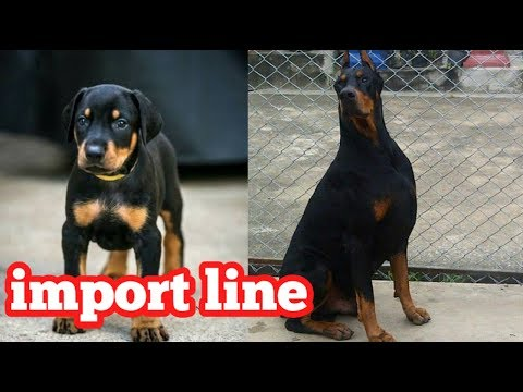 Import line doberman puppies for sale
