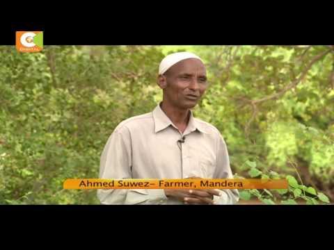 A Mandera farmer turns arid land into fertile farm, records bumper harvest