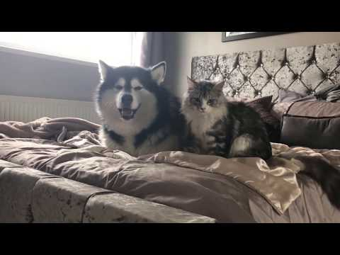 Alaskan malamutes and a kitten? Are you crazy! Check out our daily battles! YouTube exclusive