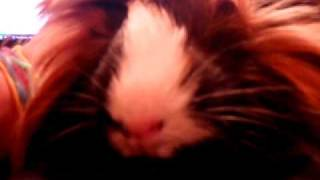Sounds Guinea Pigs make - meanings
