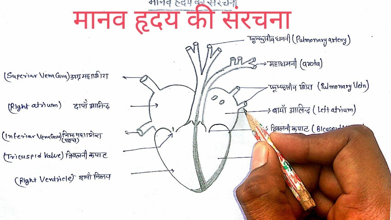 Human Heart Diagram Class 10th ~ DIAGRAM