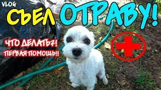 Билли ОТРАВИЛСЯ!!! Укусил клещ! Как помочь собаке?