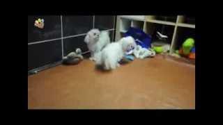Güzellikleriyle Hayran Bırakan Maltese Terrier Yavruları