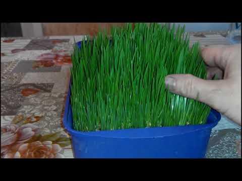 Вопрос: Как избавиться от плесени при выращивании микрозелени?