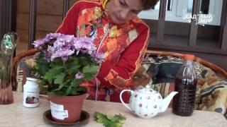 видео Хризантема. Магические свойства