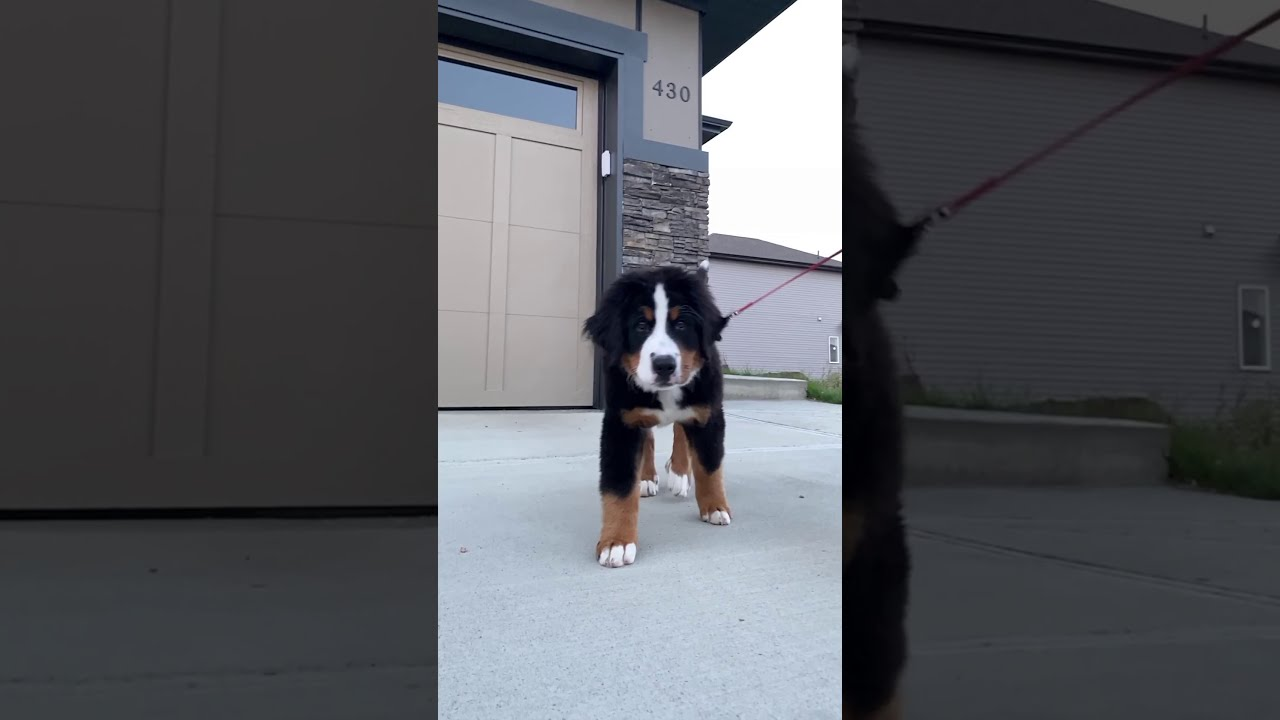 Bernese Mountain Dog Excited For Her First Walk