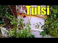 704 Pinch The Tulsi Flowers After Blooming Plant Non Stop Growth Urdu Hindi mp3