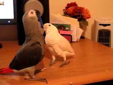 Cockatoo vs. African Grey!