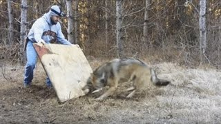 The Wild Wolf's Reaction to the Man Who Rescued Him from a Trap Is Priceless