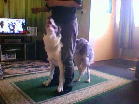 how to teach a dog to walk on your feet
