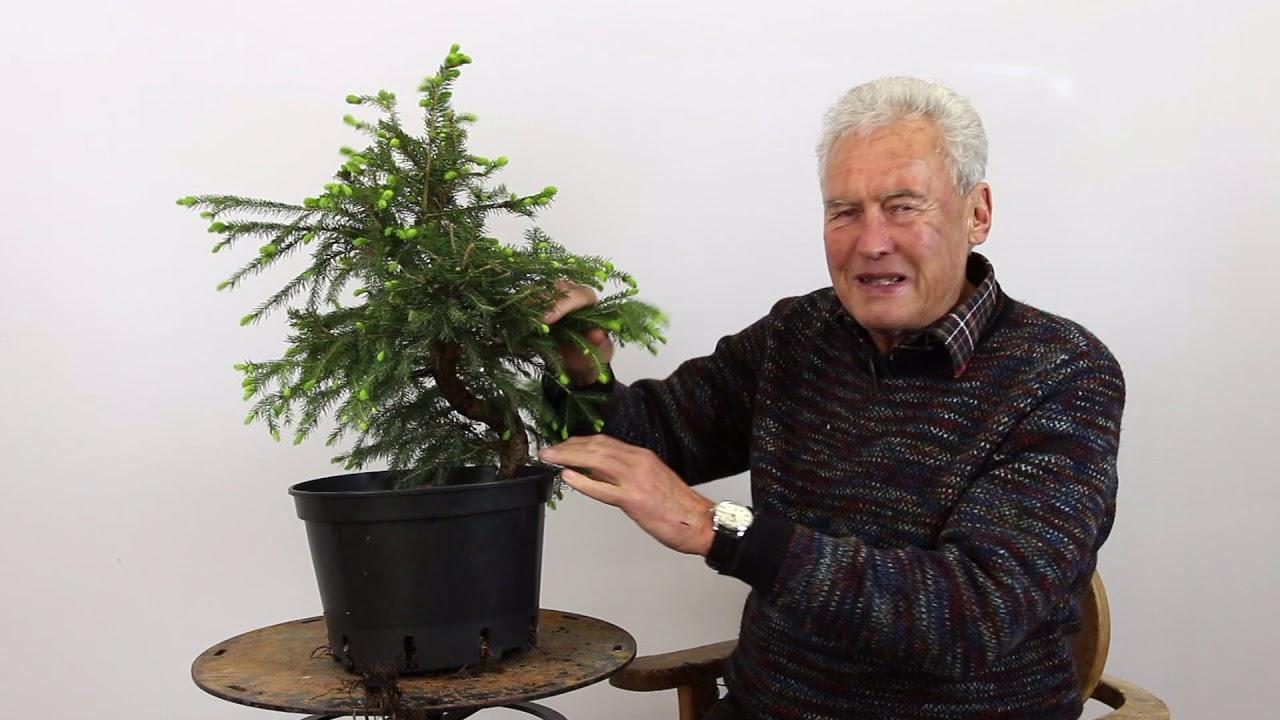 Selecting Coniferous Pre Bonsai Material Youtube