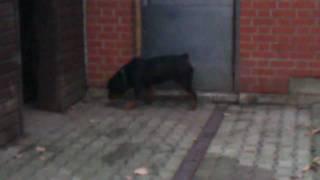 """Rottweiler Hündin """"lady"""""""