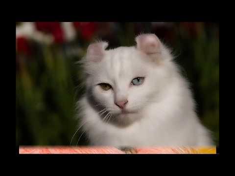 Породы кошек: Американский кёрл (англ. American Curl)