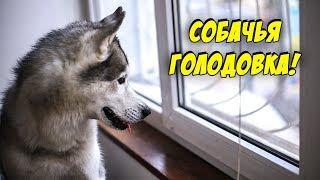 ГОЛОДОВКА У ХАСКИ | Чем кормить собаку ?