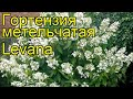 Гортензия метельчатая Левана. Краткий обзор, описание характеристик, где купить саженцы, крупномеры