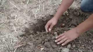 Como sembrar yuca facilmente en tu huerto