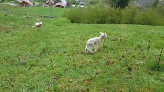 Bébé mouton curieux